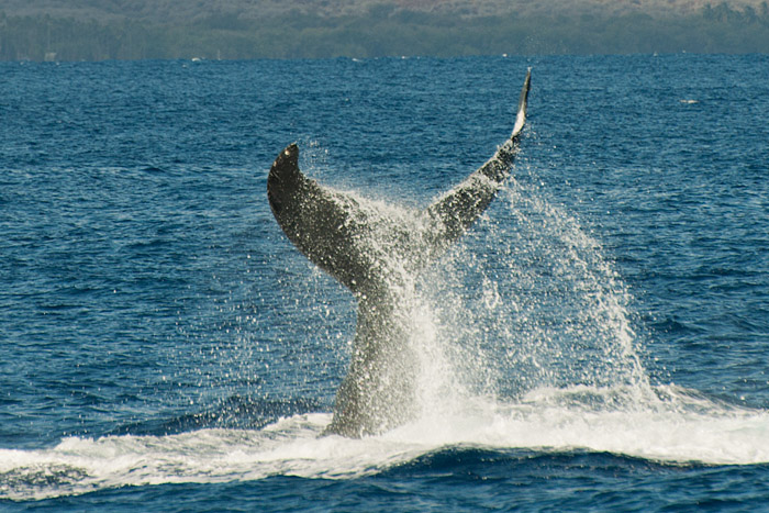 Whale watching off Lahaina, Maui