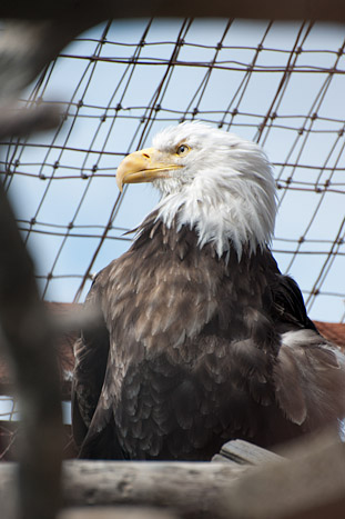 Someone shot off the left wing of a bald eagle. Many wounded and orphaned animals find their way to the conservation center.
