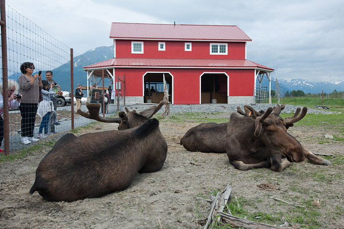 Tourists photograph moose resting at the Wildlife Conservation Center in Portage, Alaska.