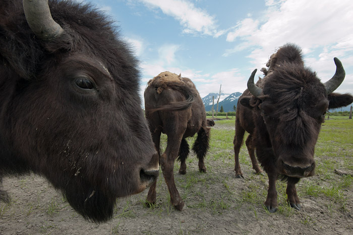 Wood bison, commonly referred to as buffalo, were thought to be nearly extinct in North America. These animals, part of a herd found surviving in Alberta, Canada, await reintroduction to the wild at the Alaska Wildlife Conservation Center in Portage, Alaska.