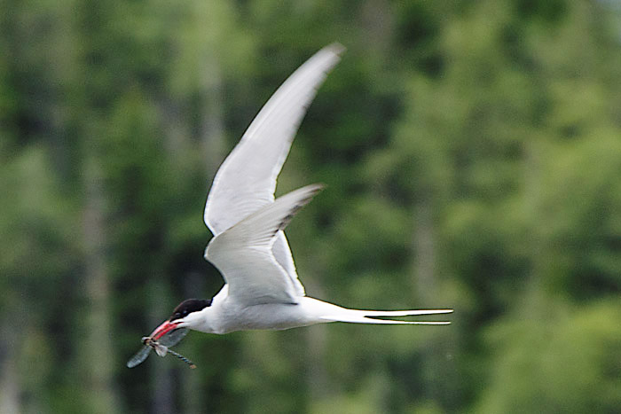 Arctic tern with dragonfly