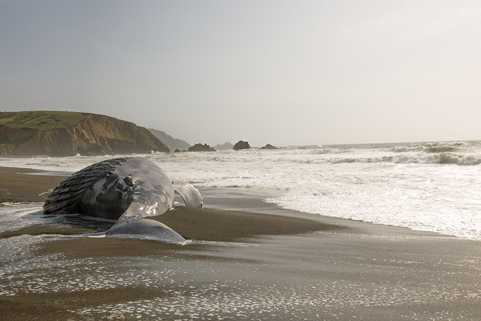 A decapitated juvenile female humpback whale washed ashore at Sharp Park Beach in Pacifica, California, on Tuesday, May 5, 2015. The whale may have been struck by a ship and is the second of three dead whales found on the beach this spring in the San Francisco Bay Area.