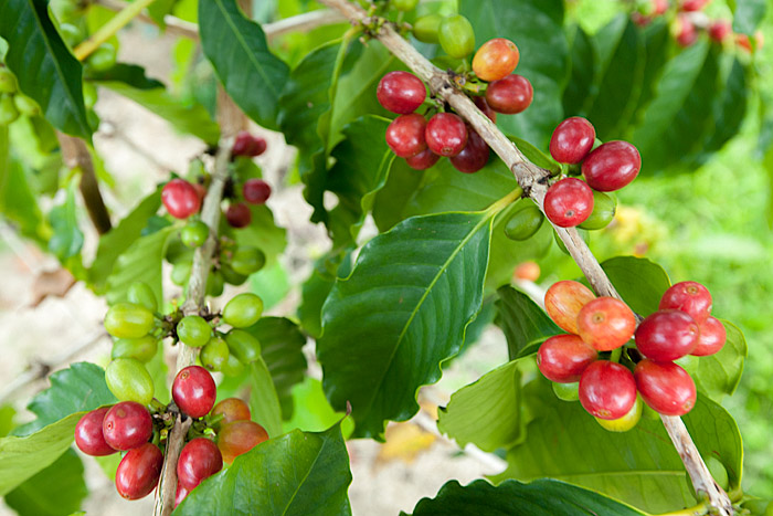 Ripe coffee cherries at Mauka Meadows Coffee Farm, Holualoa
